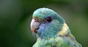 Csendes papagáj