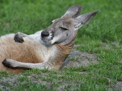 Leleményes kenguru