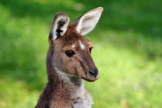 Szegény kenguru....
