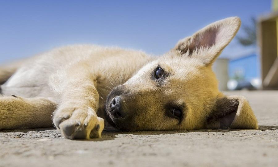 Kosztolányi Dezső: A kis kutya