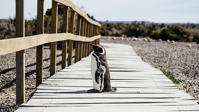 Kóborló pingvin