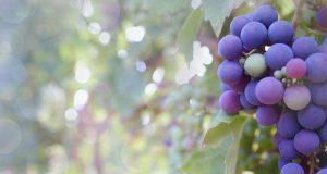 A szőlővesszők hivatása