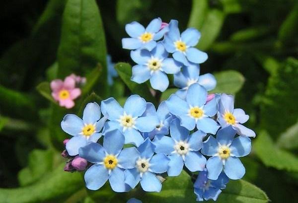 Nefelejcs virág